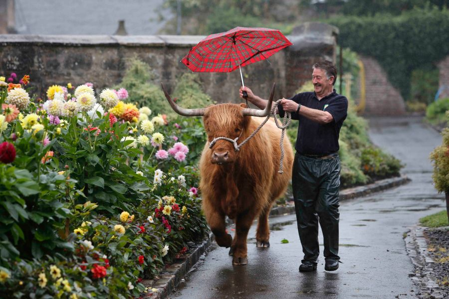 Matt Auld , stocks man at Pollok Park , home of the award winning highland Cattle takes Maisie for a walk.
